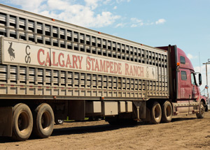 A cattle liner at the Calgary Stampede Ranch